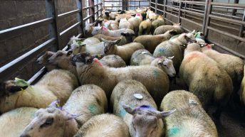 Sheep trade: No change in base quotes, as prices peak at 510c/kg