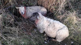 Graphic: 2 dogs shot following midlands sheep attack