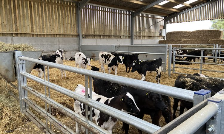 Purpose-built calf house makes life easier for this UK-based dairy and beef farmer