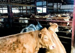 Beef trade: Price rise momentum for heifers and steers keeps going