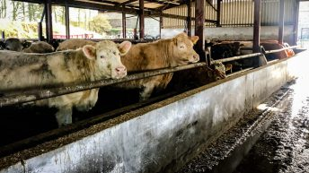 Beef trade: A new year carries over old prices