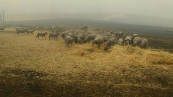 Sheep dog saves flock from wildfire blazes in Australia