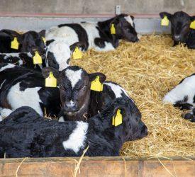 CAP 2023-2027 dairy beef calf funding 'half-hearted' – ICMSA