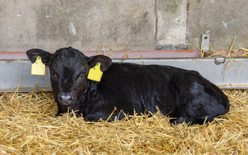 The Calf Show – episode 3: Calf health and vaccinations