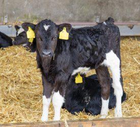Maximising calf performance pre-weaning
