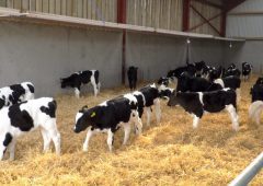 Are you feeding calves enough milk to obtain maximum growth rates?