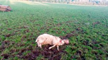 What can farmers do if their sheep are attacked by dogs?