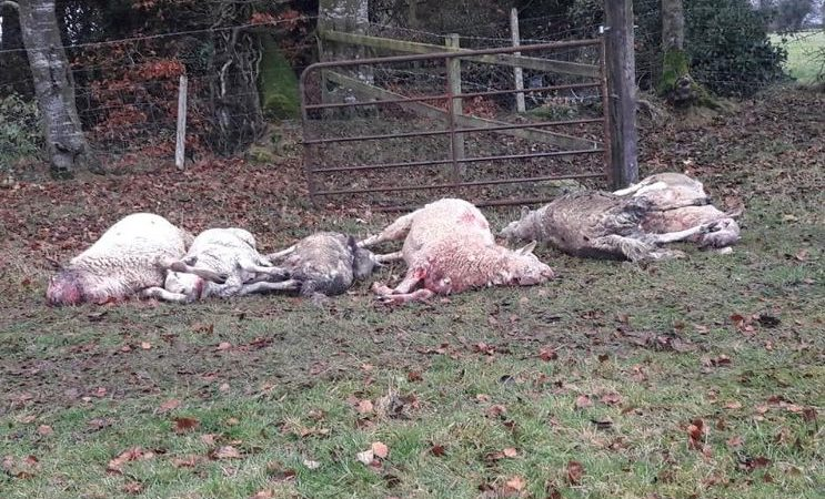 Dog attack: 'Unbelievably distressing to find dead or dying ewes'