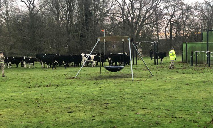 Bovine brigade: Herd of heifers 'invades' area of rural RAF base