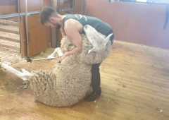 Catching up with an Irish sheep shearer…down in Australia