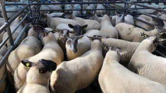 Sheep trade: Quotes firm – sheep kill drops nearly 6,000 head