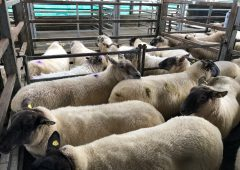 Sheep trade: Processors increase prices as supplies tighten