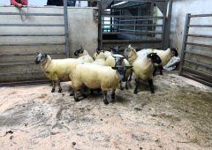 Sheep marts: Strong trade all round, as the number of in-lamb ewes on offer increases