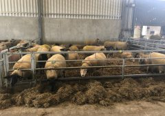 Ewe management: It's time to administer clostridial vaccinations