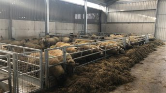 Ewe management: Getting nutrition right pre-lambing