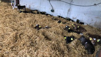 4 simple steps to avoid a scour outbreak as calf numbers grow