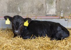 Department 'engaging' on ICMSA's Dairy Beef Calf Scheme