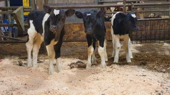 Co. Kerry farmer gets 3 calves for the price of 1