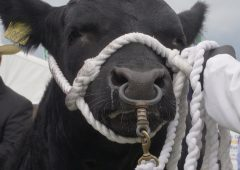 New animal movement rules threaten end of showing in Britain for NI breeders