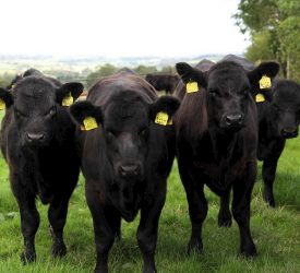 NI steers 'fetching €250/head more' than southern steers