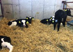 Dairy calf registrations surpass the 300,000 head mark