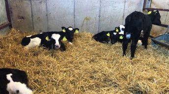 Dairy calf registrations surpass the 300,000 head mark