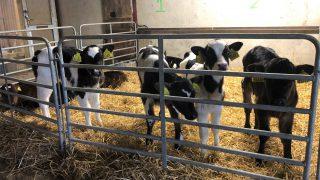 Dairy calf registrations surpass the 800,000 head mark