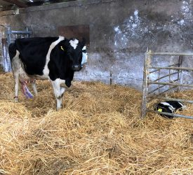Autumn-calving: Pasture or shed calving?