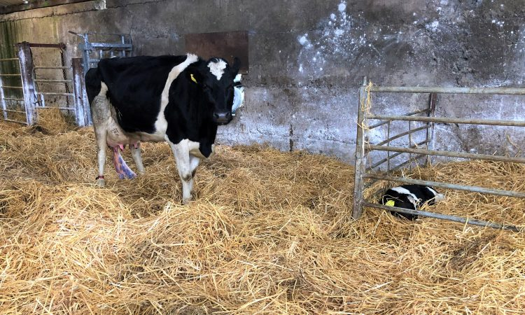 Why a close eye must be kept on BCS in early lactation
