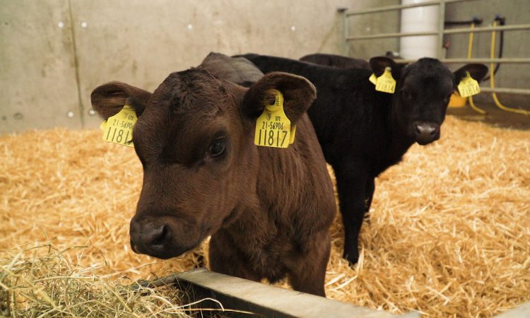 The importance of choosing dairy calves with the right genetics for beef production