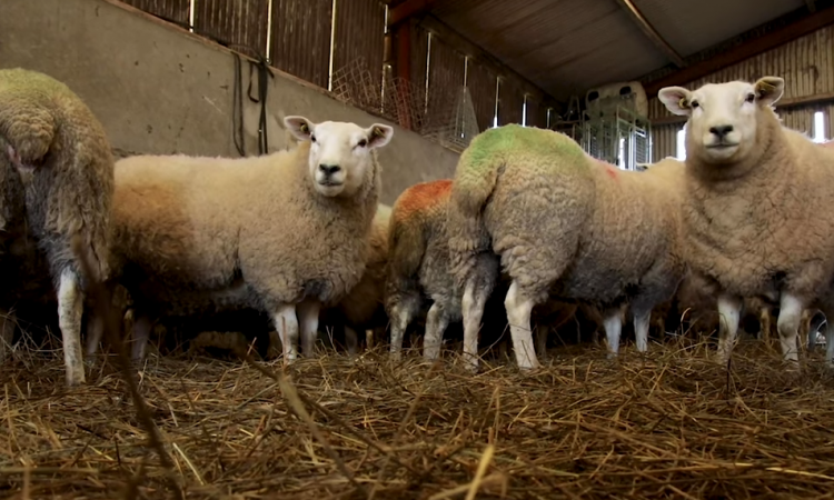 Video: How to BCS ewes and the importance of it
