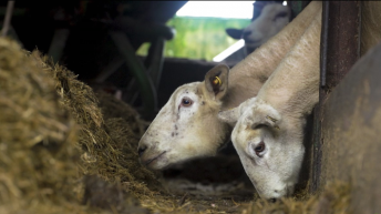 Video: The ins and outs of scanning ewes