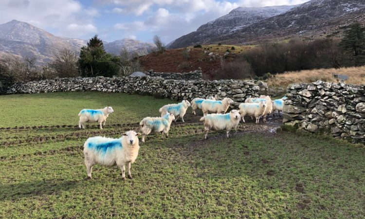 Online sheep census form deadline fast approaching