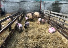 Straw and lime: The key barriers to prevent the spread of disease this lambing season