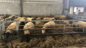 What are the dangers associated with under and overfeeding ewes?