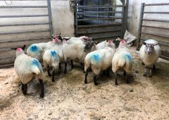 Sheep marts: Poor weather conditions affect the number of sheep on offer at marts