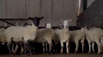 Pre-lambing checklist: How to make life easier come lambing time