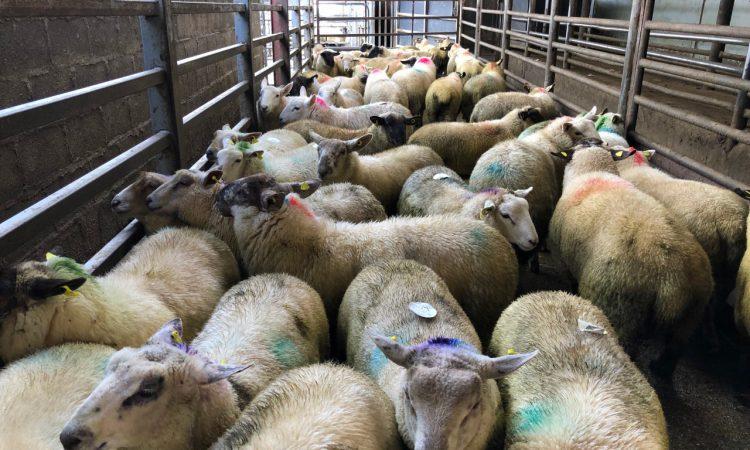 Sheep trade: Hogget prices edge closer to €6.00/kg
