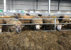 Are your ewes wasting silage? Check out how this farmer overcame this problem