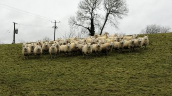 Sheep focus: Reducing costs, mortality rates and lameness through outdoor lambing