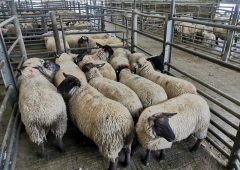Sheep marts: 'Store hoggets up €15-20/head compared to this time last year'