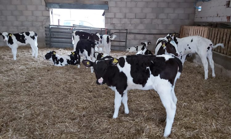 Calves a 'picture of health' on 63-day feeding programme incorporating Compumate