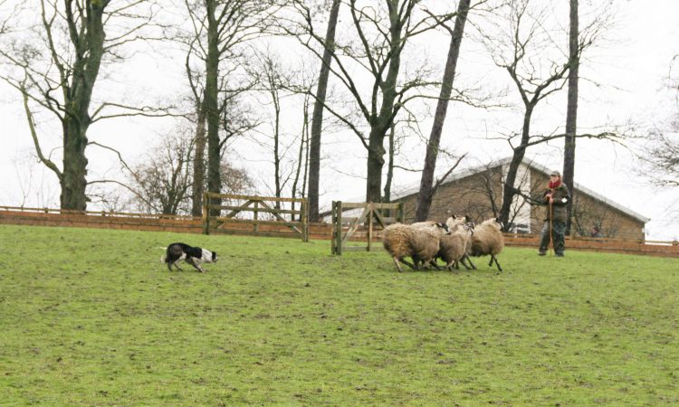 'World record price smashed' as sheep dog sells for over €22,500