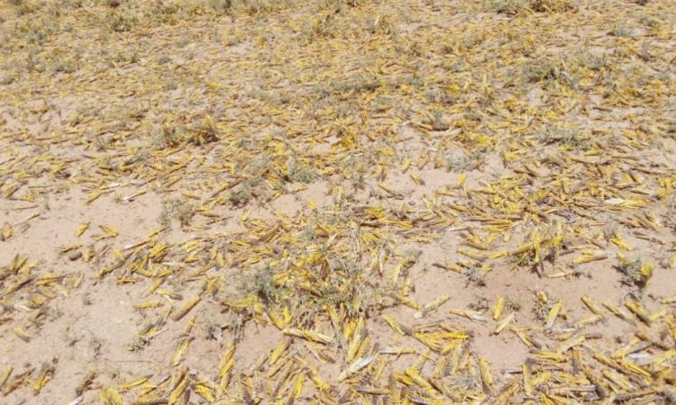 Locust swarm to create 'major food crisis' in Africa