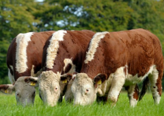 Changes to Irish Hereford Prime bonus scheme announced