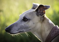 Letter to the editor: 'You won't see a happier greyhound than one that has just finished a race'