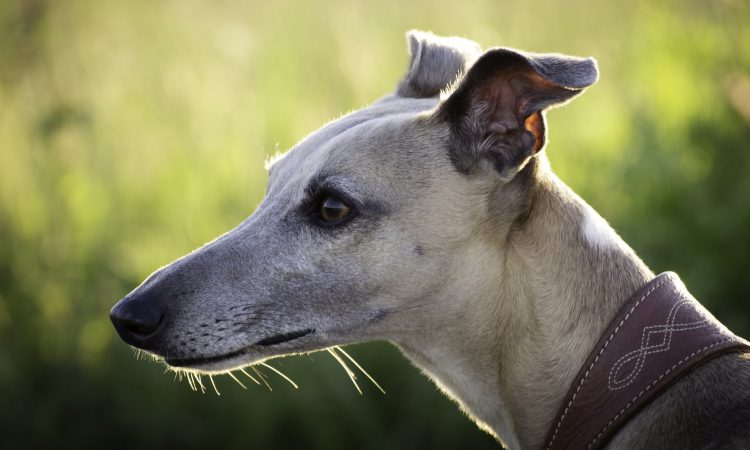 Rural TDs call for independent economic assessment of greyhound industry