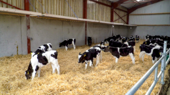Video: What can I pay for dairy-beef calves?