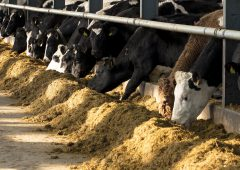 Post-calving trace mineral deficiency is a reality: How to get cows back in calf