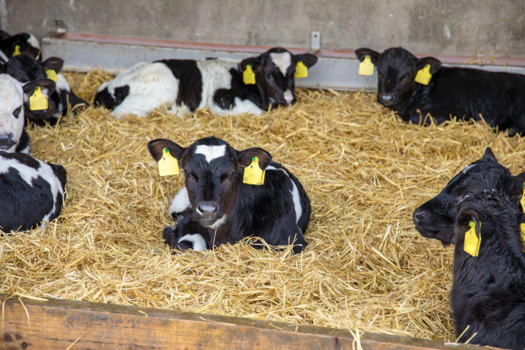 eid tagging calves